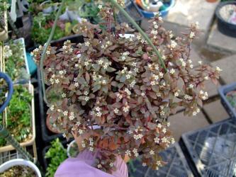 クラッスラ ボルゲンシー白花満開~赤銅色に紅葉中w2011.11.25