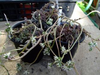 Sedum caducum(カドゥカム)徒長しながら咲いた花、少し紅葉紫色になっています!2011.11.27