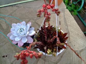 エケベリア ラウイー (Echeveria lauii)と  エケベリア 古紫(こむらさき)Echeveria affinis