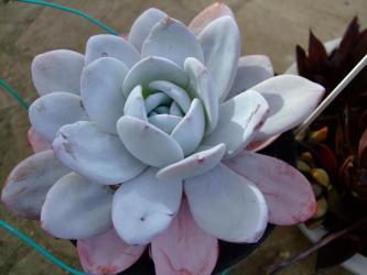 エケベリア ラウイー (Echeveria lauii)  真っ白を代表する美しすぎて君が怖い~魅惑のお馴染みエケベリア!2011.11.26