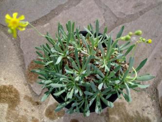 オトンナ レトロルサ(Othonna retrorsa) やっと咲きました!もっとたくさん咲くと思ったのにショボい~><2011.11.29