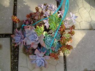 多肉植物吊鉢~寄せ植え。2011.11.25