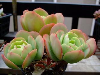 エケベリア ムクロナータ(Echeveria mucronata)  2011.11.28