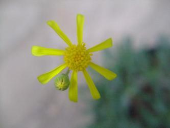オトンナ レトロルサ(Othonna retrorsa) 開花マーガレット咲き~2011.11.29
