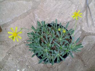 オトンナ レトロルサ(Othonna retrorsa) 2つ花が咲きました!2011.11.29