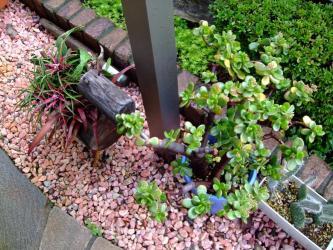 金のなる木に花芽がたくさんでき始めました!1階軒下~2011.12.03