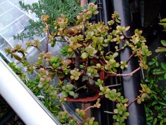 金のなる木に花芽がたくさんでき始めました!2階ベランダ~2011.12.03