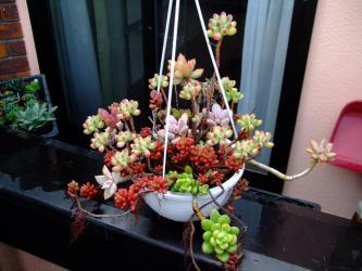 急な寒さに真っ赤に紅葉~セダム虹の玉、乙女心など~寄せ植え吊鉢2階ベランダー2011.12.03