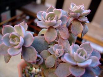 エケベリア サブセシリス (Echeveria subsessilis)6cm鉢の中で枝分かれしてきました!踊っています!2011.12.05
