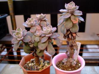 エケベリア サブセシリス (Echeveria subsessilis)6cm鉢の中で枝分かれしてきました!木になっています!2011.12.05