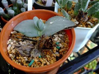 ケイリドプシス 翔鳳(しょうほう)(Cheiridopsis peculiaris) 2株あったのに1株溶けました><腐りました~あ゛~2011.12.11