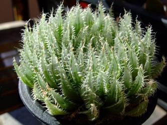 ハオルチア カミンギー(=クミンギー)特美大型単頭タイプ(Haworthia cummingii)2011.12.20