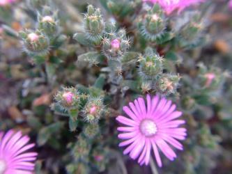 トリコディアデマ・お名前不詳~ (Trichodiadema sp.)たくさん蕾を付けて開花中~2011.12.21