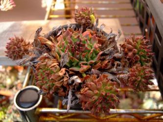 センペルビウム 百恵(Sempervivum ossetiense cv. Odeity)2011.12.25