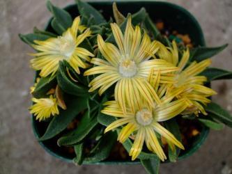 塊根葉物メセン ナナンサス ウィルマニアエ(Nananthus Wilmaniae )=Aloinopsis vittata=Nananthus vittata?キレイに開花ちゅう~2011.12.27