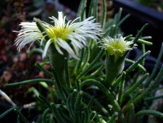 塊根葉物メセン フィロボルス(Phyllobolus sp*ラビエイ rabiei ?*レスルゲンス resurgens)開花中~2011.12.27