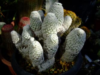 見分けの付き難い~マミラリア 白鷺・しらさぎ(Mammillaria albiflora)&白鳥・はくちょう(Mammillaria herrerae)2012.01.23