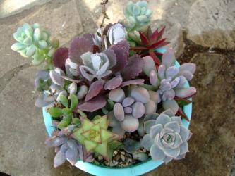多肉植物寄せ植え!左手前にチョット変ったクラッスラ 6条星乙女(Crassula perforata)がいます!2011.12.27