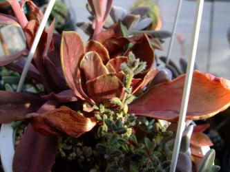 エケベリア 寒鳥巣錦(カントリス錦・斑入り)(Echeveria fasciculata f.variegata)~2012.01.04