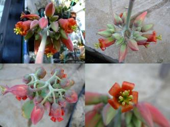 コチレドン 紅覆輪(ベニフクリン)Cotyledon macrantha var. virescens~花盛り~2012.01.03