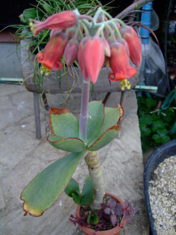コチレドン 紅覆輪(ベニフクリン)Cotyledon macrantha var. virescens~9cm鉢、根詰まりでも開花w2012.01.03