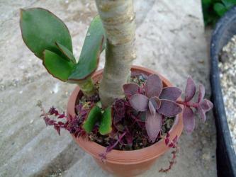 コチレドン 紅覆輪(ベニフクリン)Cotyledon macrantha var. virescens~根元挿し木、紫色に紅葉したクラッスラ・茜の塔&貴ノ花