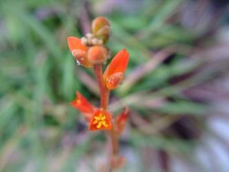 ディッキア マルニエルラポストレー(Dyckia marnier-lapostollei)  オレンジ花なんとなく開花~2012.01.09
