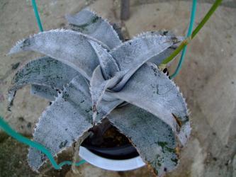 ディッキア マルニエルラポストレー(Dyckia marnier-lapostollei)  水やり肥料足らず?葉先が痛み気味~2012.01.09