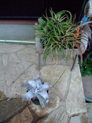 ディッキア マルニエルラポストレー(Dyckia marnier-lapostollei)  全体的にはこんな感じ~オレンジ花なんとなく開花~2012.01.09