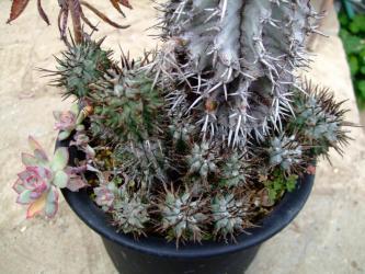 ユーフォルビア・ホリダ (Euphorbia horrida)和名:怪偉玉・魁偉玉(かいいぎょく)周り子株ぐるりいっぱい出ています。2012.01.10
