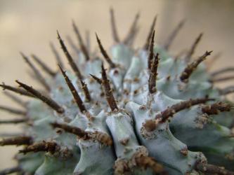 ユーフォルビア・ホリダ (Euphorbia horrida)和名:怪偉玉・魁偉玉(かいいぎょく)成長点刺は茶色でイガイガ~です。2012.01.10