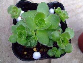 クラッスラ  オルビキュラリス. (Crassula orbicularis) 2012.01.24