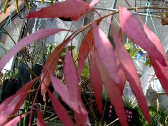 プセウドリプサリス  ラムローサ(Pseudorhipsalis ramulosa)真冬の日当たりでワインレッドに紅葉ちゅう~2012.01.29