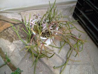Rhipsalis granduflora~蕾があがってきました!2012.02.08