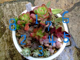 セダム宝珠扇(ほうじゅせん)(sedum dendroideum)縁がフリフリ~♪多肉寄せ植え! =宝珠、縁が真っ赤にふりふりです!2012.02.10