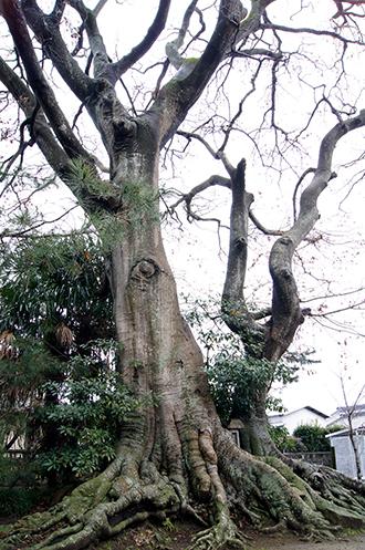 140109茨城素鵞神社欅①