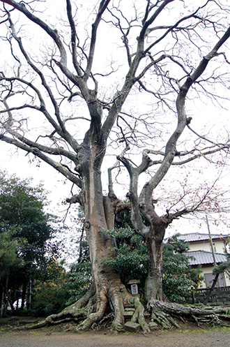 140109茨城素鵞神社欅②