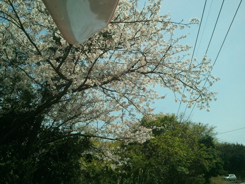 2012-04-08sakura.jpg