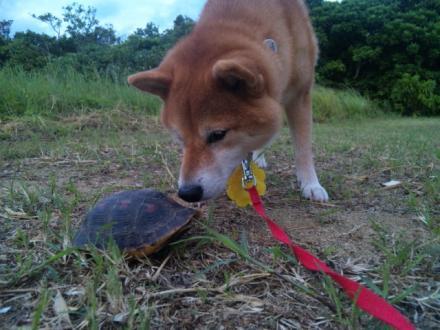 ishigaki-turtle5.jpg