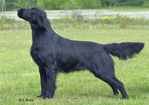 フラットflat-coated-retriever-m002