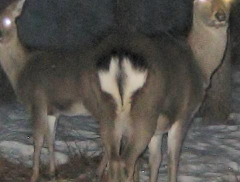 20140120怪しい鹿の眼 (6)