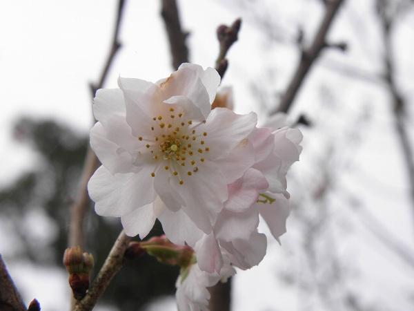 桜 出石にて