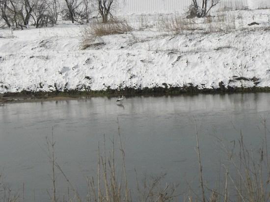 川の中にコウノトリが1羽