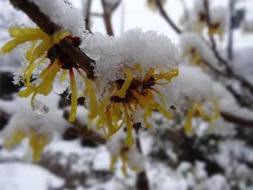 雪被りとなったシナマンサク