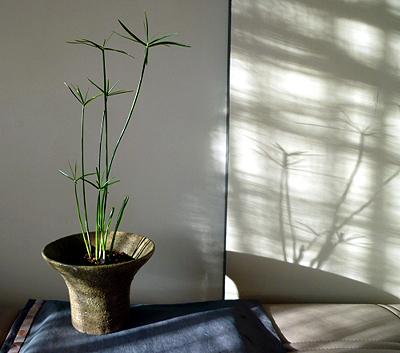 コシュロガヤツリ草