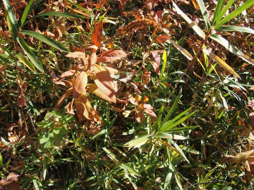 20131201・緑の森12・オカトラノオのタネ