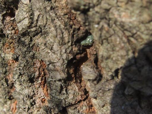 20131201・緑の森14・カメムシの卵