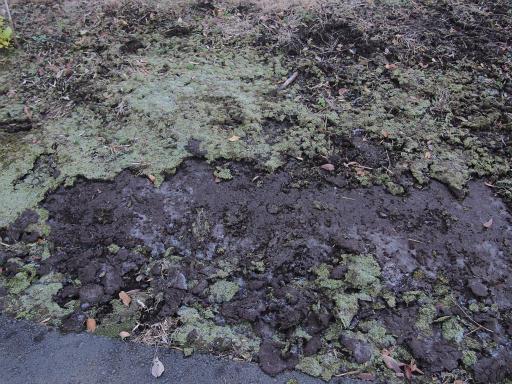 20131201・緑の森25・霜柱が