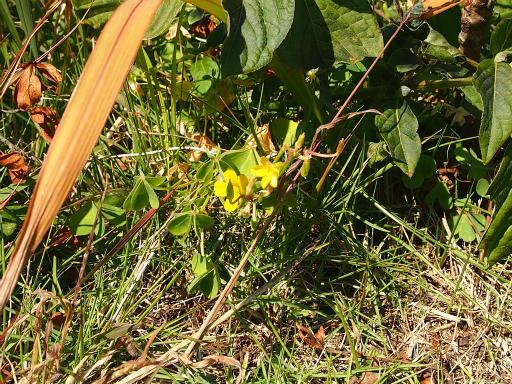 20131130・初冬散歩植物06・カタバミ