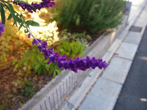20131130・初冬散歩植物01・アメジストセージ